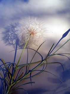 Surreal dandelion