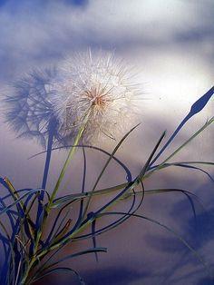 Surreal dandelion