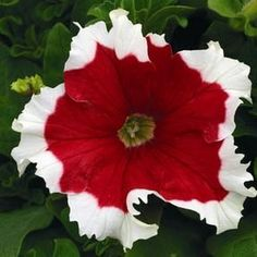 PETUNIA - FROST SERIES (PELLETED) 15 inches. Even white edges on all 3 to 3 ½ inch blooms make these bicolors great eye-catchers. Petunias continue to rank among the most popular flowering annuals. Th