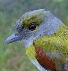 Green-backed Becard - The green-backed becard is a species of bird in the Tityridae family. It is found in Argentina, Bolivia, Brazil, Guyana, Paraguay, Uruguay, and Venezuela. The green-backed becard's natural habitats are subtropical or tropical moist lowland forests and subtropical or tropical moist montane forests.