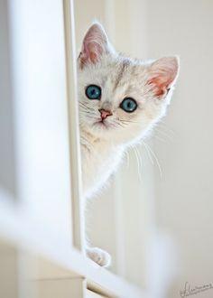 white Cat w. Blue Eyes