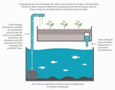 Schéma du cycle de l'aquaponie: L'aquaponie est une technique de culture qui consiste à recréer un écosystème miniature dans lequel les déjections de poissons servent d'engrais naturel. L'eau circule en circuit fermé et est entièrement recyclée. L'eau chargée d'éléments nutrifis est acheminée jusqu'au bac de culture. Les plantes assimilent les éléments nutritifs nécessaires à leur croissance et purifient l'eau du système aquaponique. L'eau nettoyée retourne ensuite dans le bassin ou…