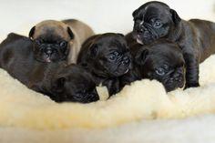 French Bulldog Puppies <3