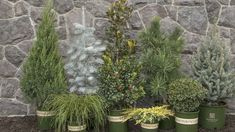 Conifers to grow for decorations