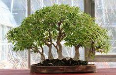 """Résultat de recherche d'images pour """"pot exterieur pour bonsai"""""""