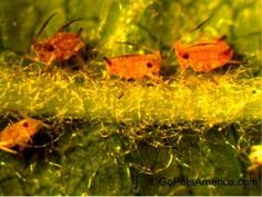 Aphid nymphs