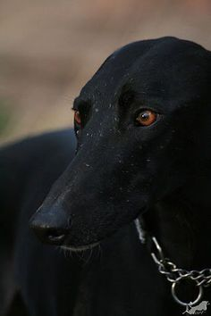 Black Greyhounds ROCK!
