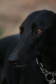 Black Greyhounds ROCK!