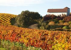 """I couldn't resist on pulling off to the side of the road to take in the beautiful colors of the vineyards in Sonoma, Calif. (From: 50 Stunning Fall-Foliage Photos)"