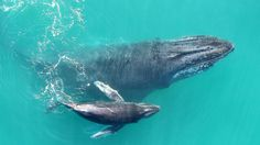 News  New recordings reveal that baby humpback whales are able to whisper to their mothers.  If you like our pins please follow us: #divingtales
