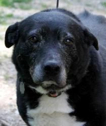 Liberty is an adoptable Collie Dog in Maryland Line, MD. Liberty is an older lady with a heart of gold. She's good with everyone she meets human-wise and is good with other male dogs, but gets a littl...