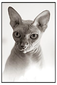 cat cat about life Sphinx Cat, Cat Photography, Happy Moments, Painting Art, Egyptian, Photo Art, Dream Catcher, Dreaming Of You, Pets
