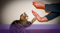 cat training - karen pryor