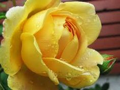 Resultado de imagem para rosa amarela
