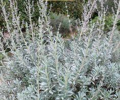 Ground Cover Seeds, Sage Bush, Small Evergreen Shrubs, Sage Plant, California Garden, Soil Improvement, Low Maintenance Garden, Organic Herbs, Front Yard Landscaping