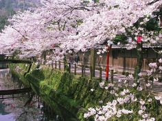 cherry blossoms tend to the river in Hyogo