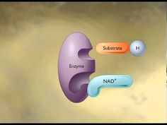 How the NAD+ Works [HD Animation] - YouTube