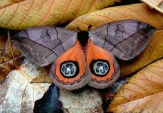 Automeris is a genus of moths in the Saturniidae family, Hemileucinae subfamily.