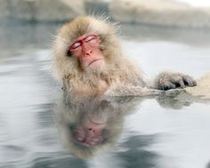 A Japanese snow monkey relaxed in a hot spring in the Jigokudani valley in northern Nagano Prefecture, Japan. (Nick Ut/Associated Press)#