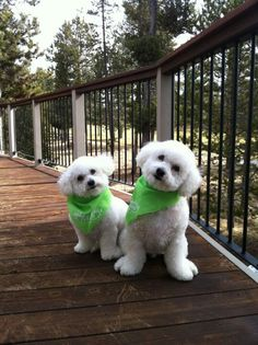 So sweet! Bichons with their hankerchiefs on.