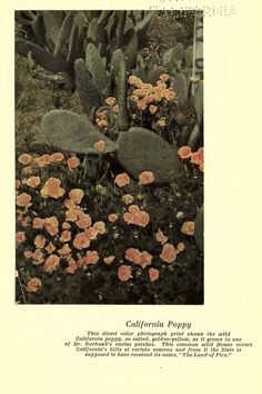 Luther Burbank: California Poppy Burbank California, California Poppy, Agricultural Science, Luther, Poppies, Nature, Flowers, Plants, Painting