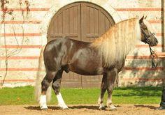 flaxen liver chestnut - Black Forest Horse stallion Feldbach