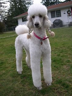 Pigtail Girl   by Dianne Dalton (Logan and Shelby's Mom) #poodle
