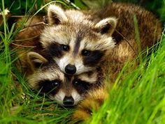 Mr. & Mrs. Raccoon