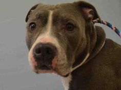 **RETURN** Super Urgent Manhattan - BUJU - #A1002921 - **RETURNED 01/14/17** - NEUTERED MALE GRAY/BR BRINDLE PIT BULL MIX, 7 Yrs - OWNER SUR - EVALUATE, HOLD FOR ID Reason PET HEALTH - Intake 01/14/17 Due Out 01/17 17 - NICE, ALLOWED ALL HANDLING - HAS DERMAL MASSES