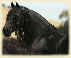 The quintessential Black Stallion. Every horse I have ever seen, I have compared to this horse. My idea of the perfect horse.