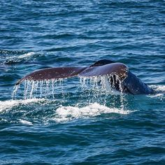 Spend your Saturday chasing tail like Humpback Whale, Whale Watching, Brisbane, Places To Go, Wildlife, Australia, Tours, Adventure, Animals