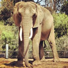 The San Diego Zoo is a zoo in Balboa Park, San Diego, California housing over 3,700 animals of more than 650 species and subspecies.