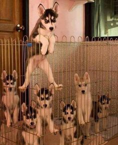 See more Beautiful Siberian Husky Dog photos,. - Where Is My Husky - Husky Beautiful, Funny Momment Photos Animals And Pets, Baby Animals, Funny Animals, Cute Animals, Cute Puppies, Cute Dogs, Dogs And Puppies, Doggies, Baby Dogs