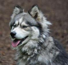 Tundra: Siberian Husky, Dog; Lynnwood, WA