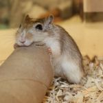 *** Gerbil plus cage and accessories