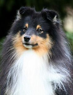 Lovesome sheltie - Duke in Shelteam -2012.11.1