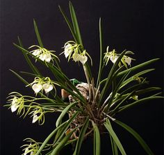 "Brassavola The ""lady of the night"" orchid, so named for its delightful fragrance in the evening is a wonderful addition to any orchid collectionhttp://www.repotme.com/orchid-care/img/Brassavola.jpg"