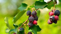 Traveling north, to backwoods berries Pesto, Berries, Food And Drink, Fruit, Garden Ideas, Traveling, Landscape, Viajes, Landscape Paintings
