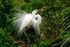This image was captured at the Alligator Farm in St. Augustine FL. This is one of the movements in his Display on Strictly Florida Galleries  http://i2.wp.com/www.strictlyfloridagalleries.com/wp-content/gallery/justified_image_grid/great-white-egrets/greatwhiteegret_003-edit.jpg