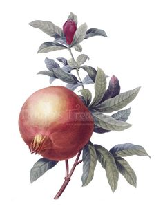 Vintage French Pomegranate Clipart High by TanglesTreasures, $2.00