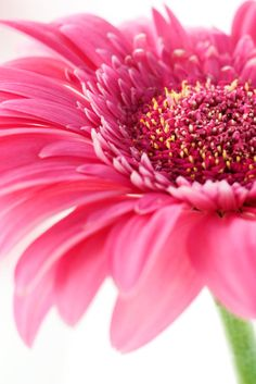 GERBERA DAISY ORIGIN - An ornamental plant from the sunflower family, the gerbera daisy is named in honor of the German botanist and naturalist, Traugott Gerber.