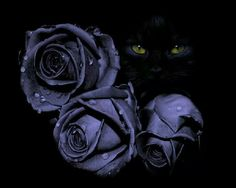 Purple roses & a black cat