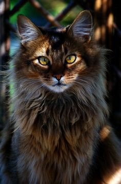 Muzzle - I think this is where one of the biggest differences is apparent. The Maine Coon has a \a squareness to the muzzle\...\visibly square\. While the NFC breed standard says \part of the straight line extending toward the base of ear without pronounced whisker pads and without pinch..\ - no mention of \squareness\. The Maine Coon muzzle can and should be noticeably square and the NFC muzzle is quite tapered and relatively pointed I think.