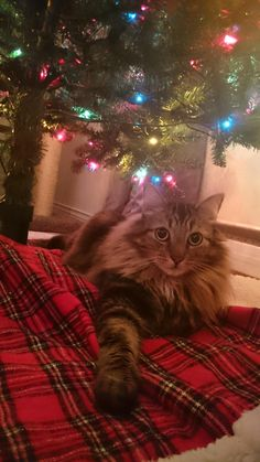 Bo was a present four years ago still likes to be under the tree http://ift.tt/2fAy9lJ