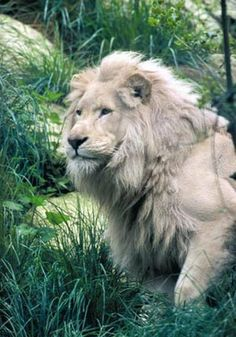 Rare white lion | see more #animal pics at www.freecomputerdesktopwallpaper.com/wanimalseighteen.shtml Thank you for viewing.