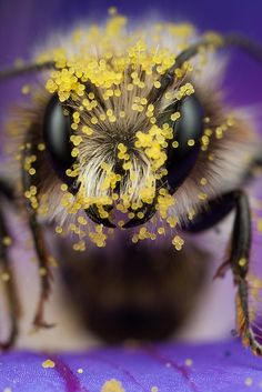 Pollen on a Miner Bee--incredible photo!!!