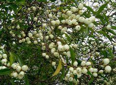 Aphloia Theiformis Albino Berry Helderblaar m S A no 505 Fruit Plants, Black Eyed Peas, Flora, Berries, Albino, South Africa, Trees, African, Image