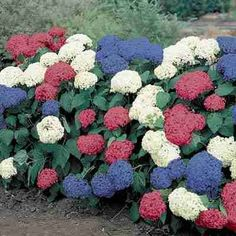 3-N-1 Hydrangea. I've never seen one before but definitely MUST HAVE ONE!