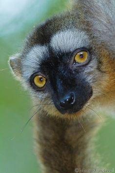 Male Brown Lemur
