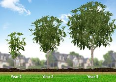 One of the Fastest Growing Elm Trees  -  	This gorgeous classic tree features rough, leathery leaves that show shiny, rich green in the summer and turn yellow in the fall.   	Its rounded crown and vase-shaped structure create an impressive silhouette. But it's the fascinating 'jigsaw puzzle' bark that brings you up close.   	Gray,...
